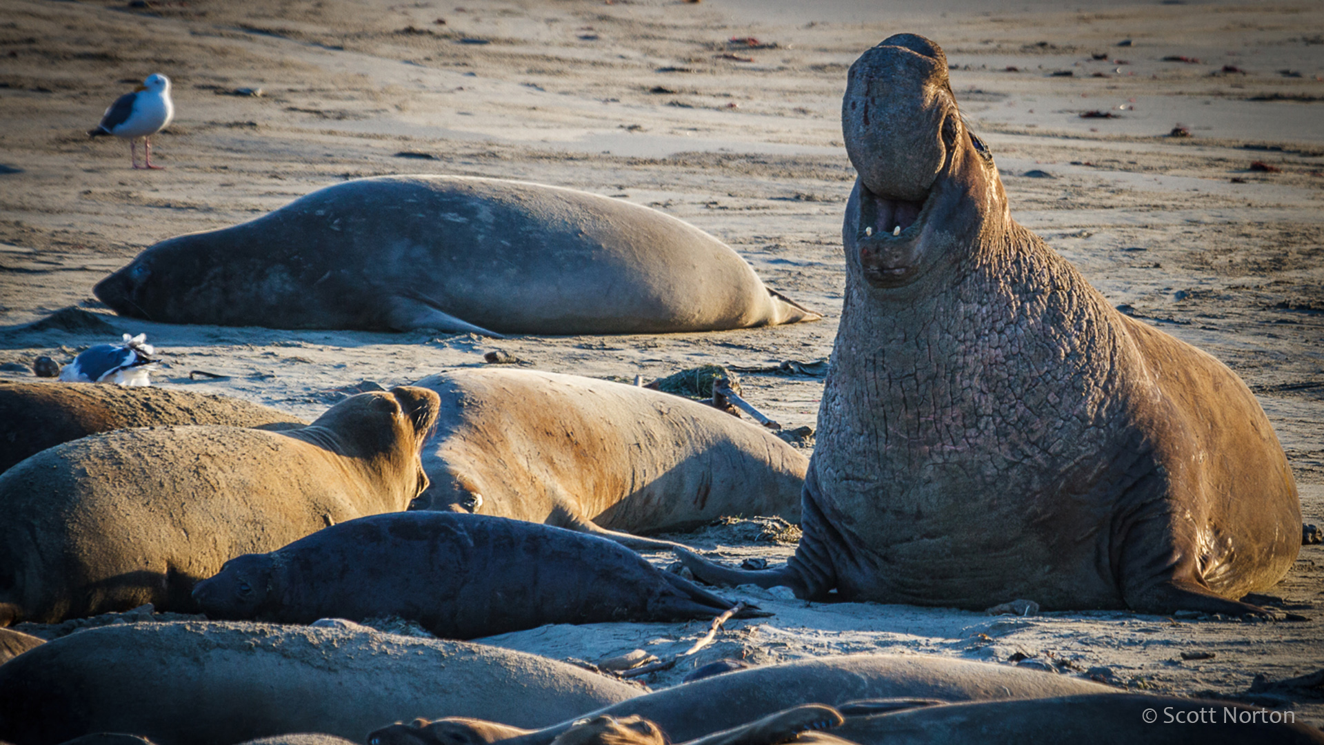 elephant seals on the beach by scott norton